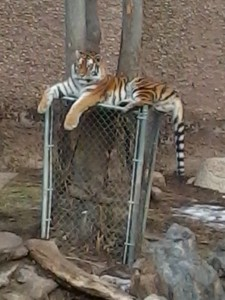 Fully Functional Tiger Fence
